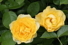 The Julia Child Rose cultivar is known for its yellow blooms.